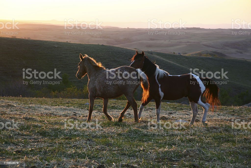 Wild Horses (two) royalty-free stock photo
