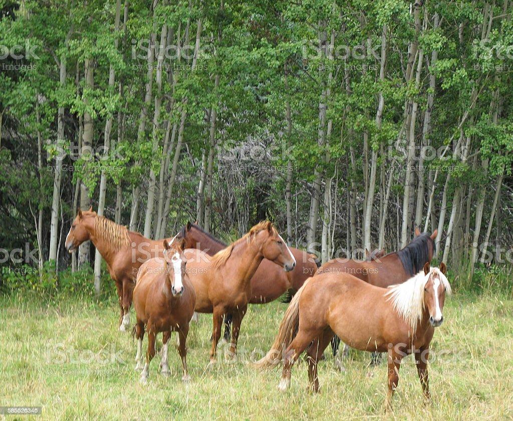 Wild Horses stock photo