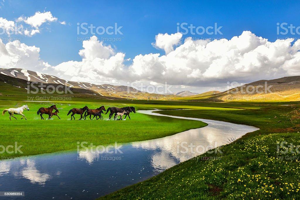 wild horses running freely stock photo