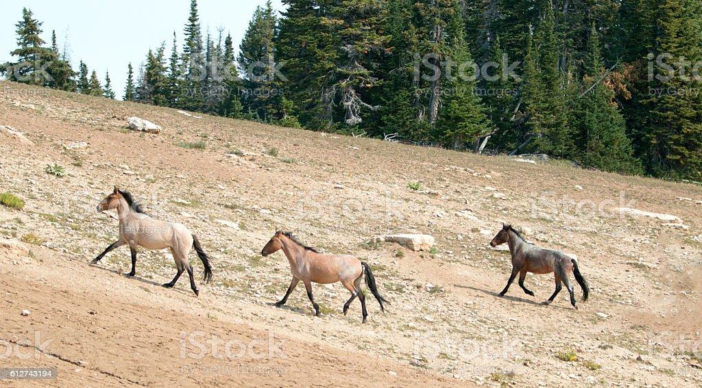 Wild Horses running uphill in the Pryor Mountains Wyoming USA stock photo