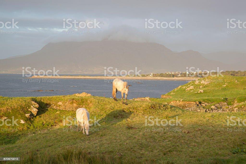 Wild Horses, Tully, Connemara, Galway stock photo