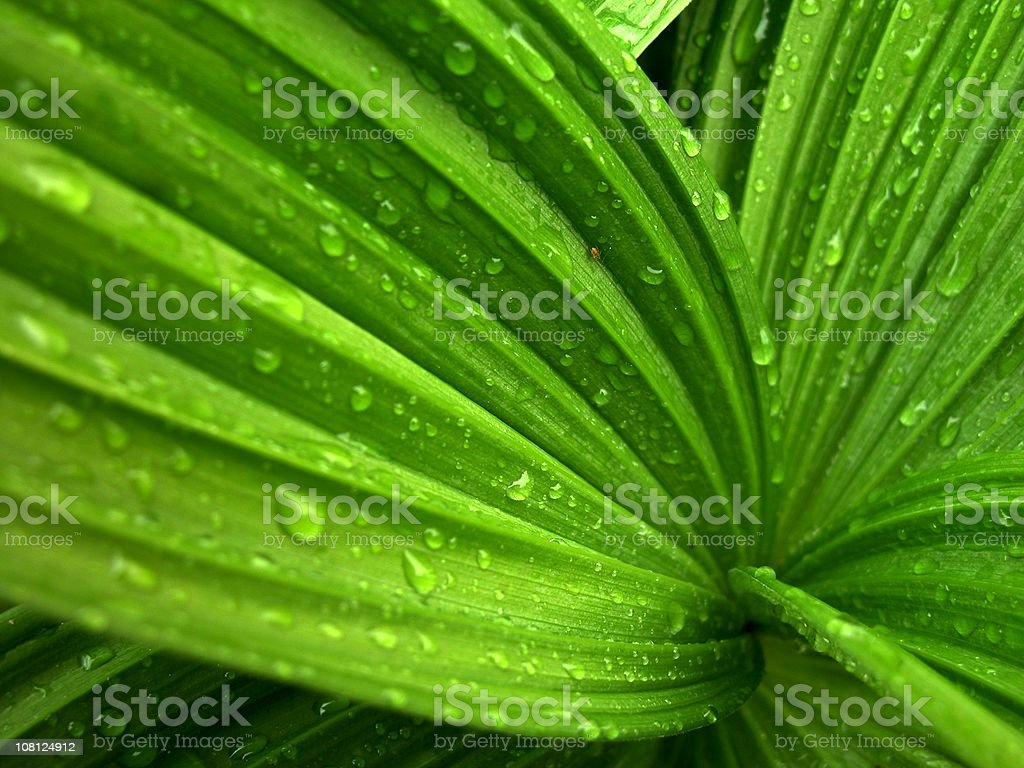 Wild hosta Plant with Wet Rain stock photo