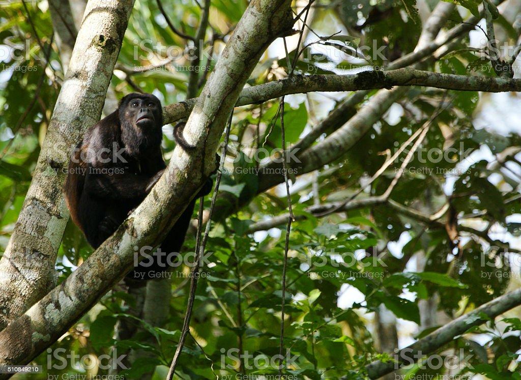 Wild Howler Monkey in Central America stock photo
