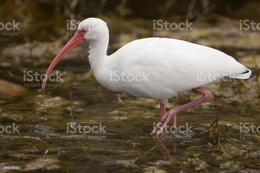 Wild hunting white Ibis walking wetlands Florida Everglades National Park stock photo