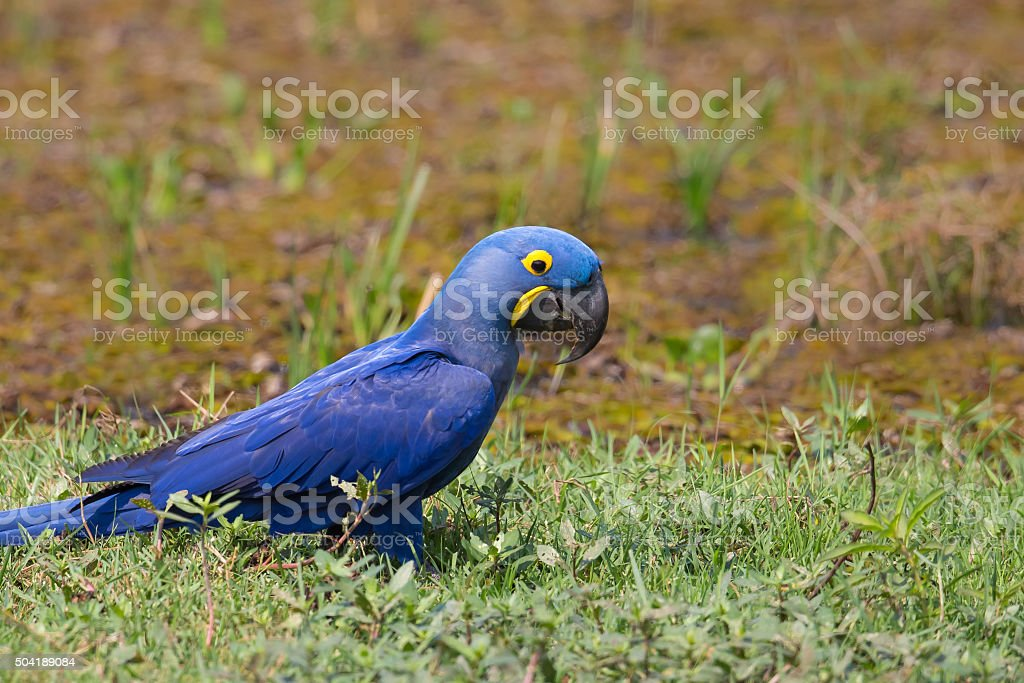 Wild Hyacinth Macaw on the ground stock photo