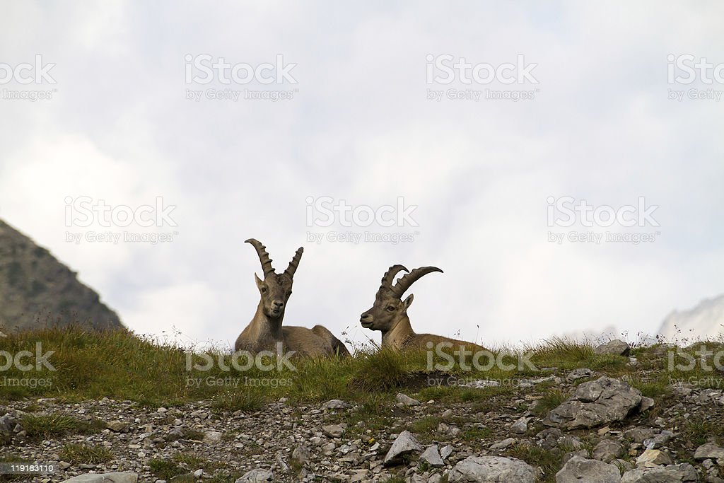 wild ibex stock photo