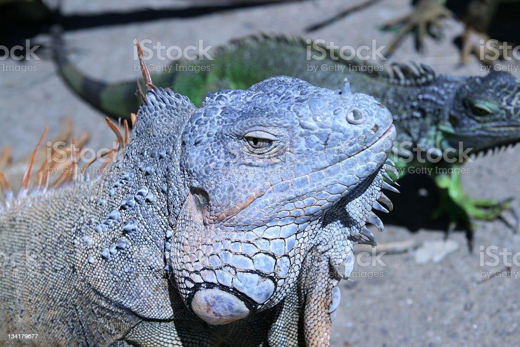 wild Iguanas stock photo