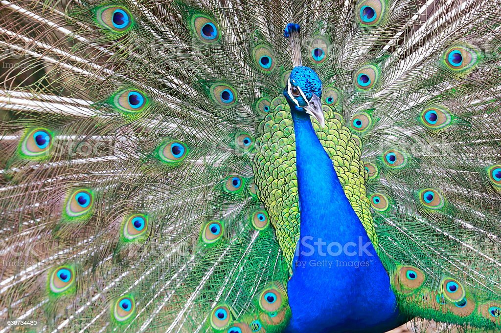 Wild indian Peacock, colorful Feathers showing fanned Out stock photo