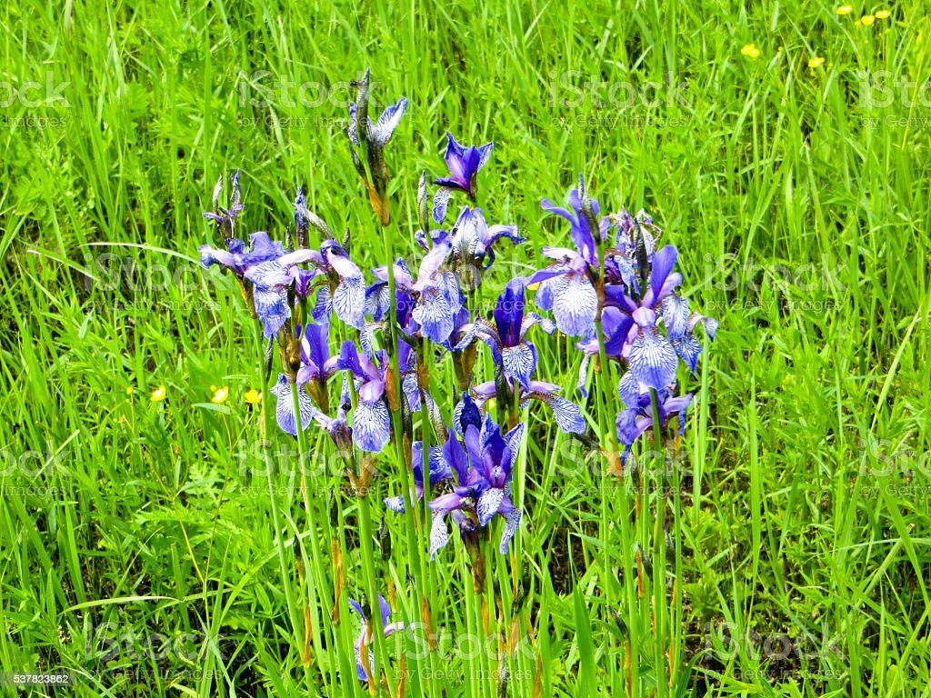 wild irises stock photo