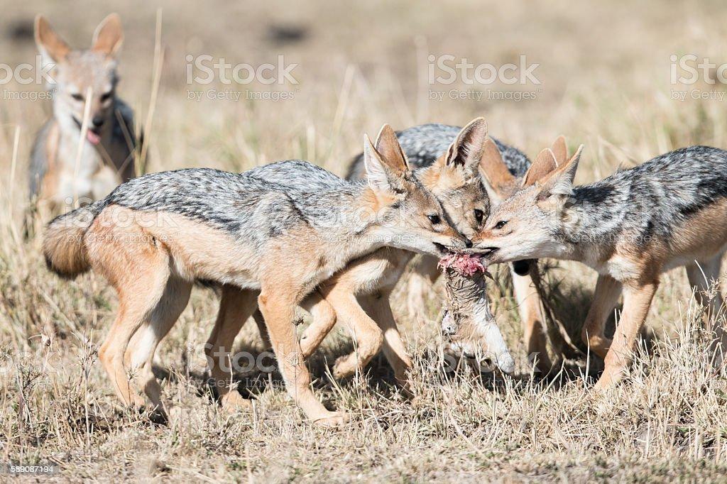 Wild Jackals stock photo