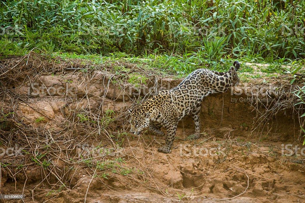 Wild Jaguar in Pantanal Brazil stock photo