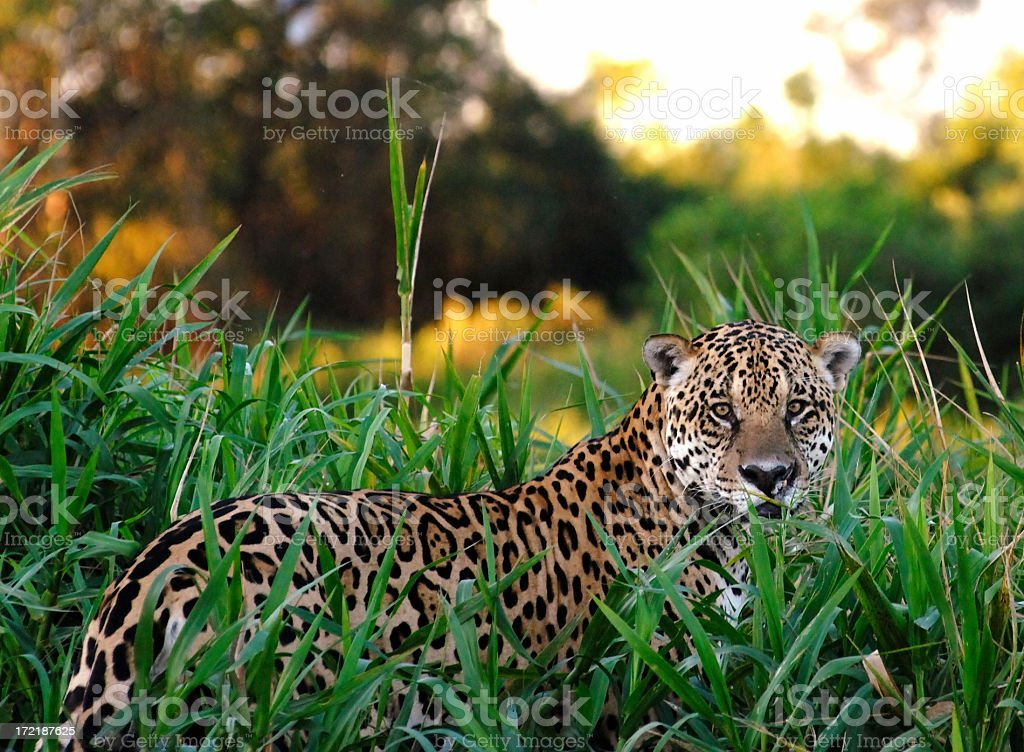 Wild Jaguar royalty-free stock photo