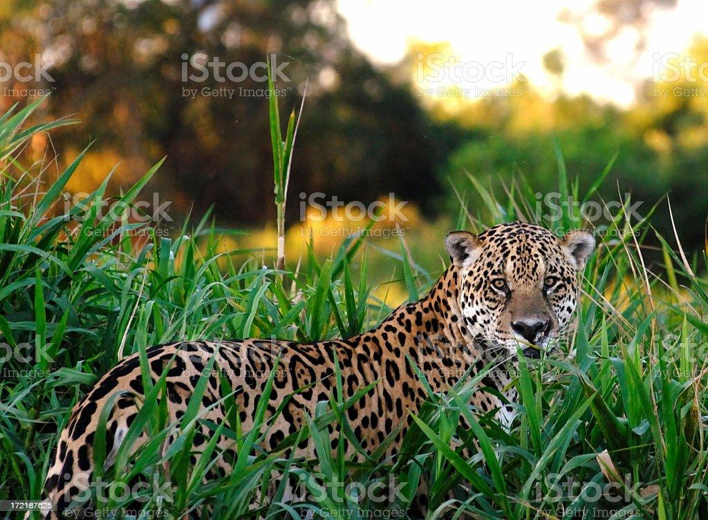 Wild Jaguar stock photo