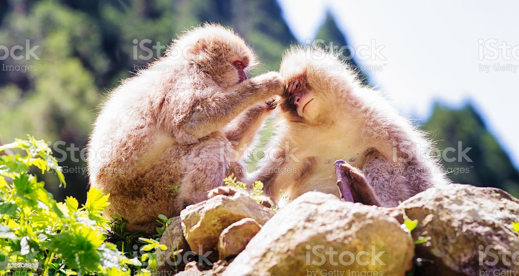 Wild Japanese macaque looking for lice on partner stock photo
