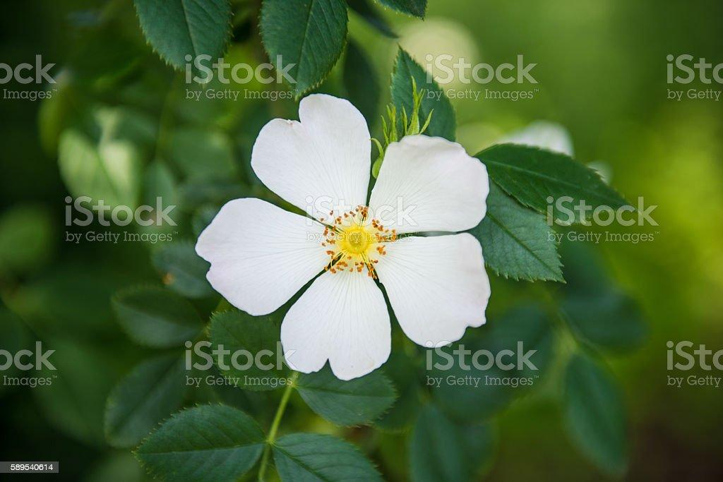 Wild Jasmine flower stock photo