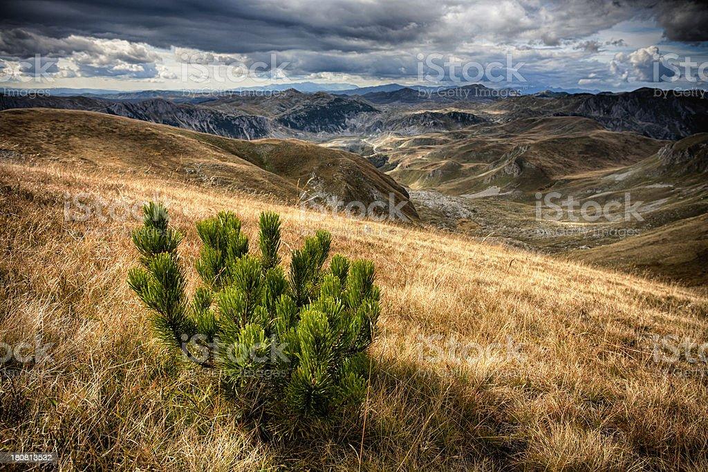 Wild juniper tree royalty-free stock photo