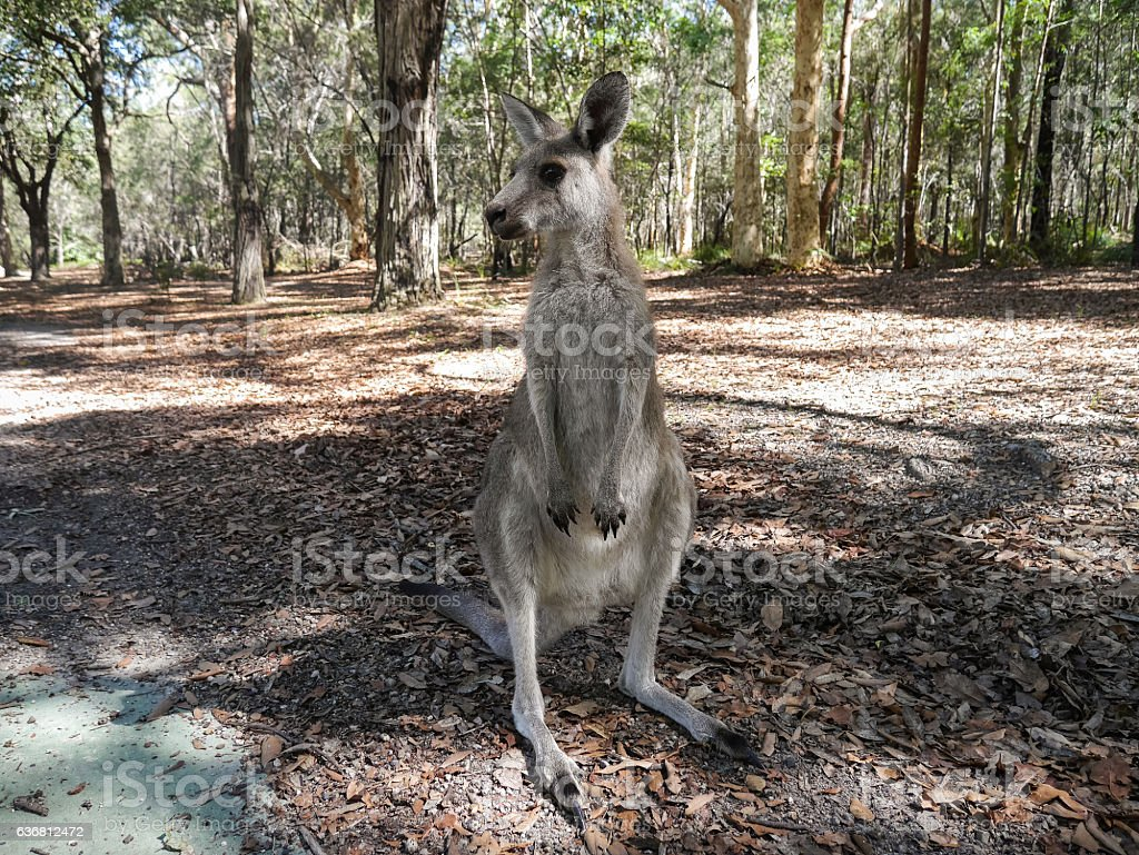 Wild Kangaroo - Australia stock photo
