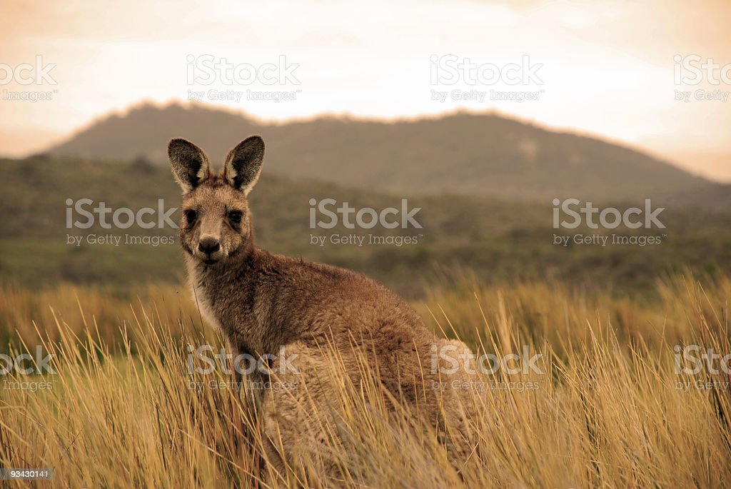Wild kangaroo in outback stock photo
