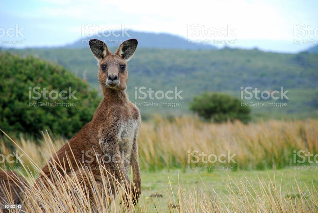 Wild kangaroo in outback stock photo