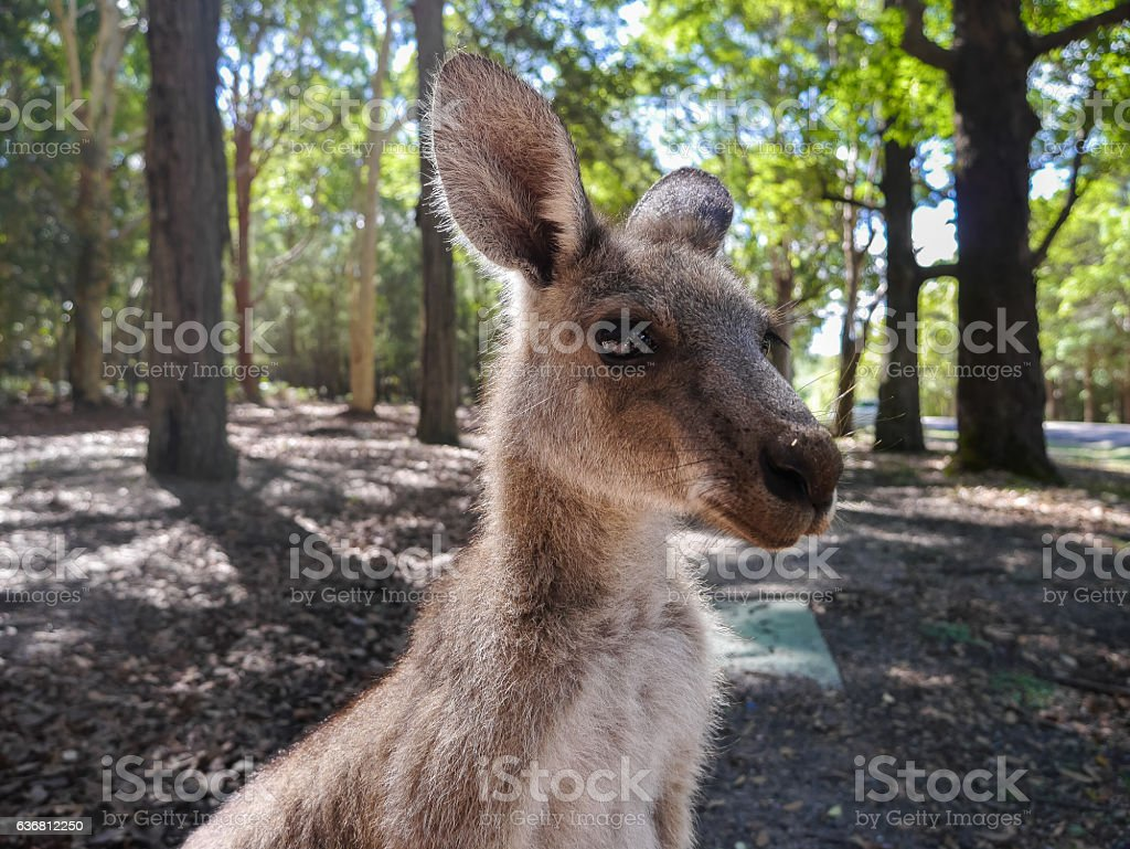 Wild Kangaroo, Portrait - Australia stock photo