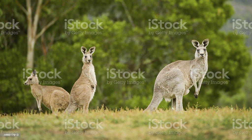 Wild kangaroos in outback stock photo