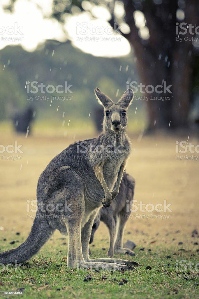 Wild Kangaroos on Grass on Rainy Day stock photo