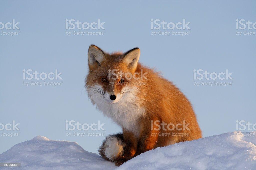 Wild kind fox. stock photo