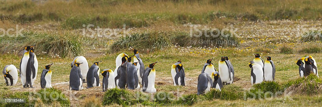 Wild king penguins of Tierra del Fuego, southern Chile royalty-free stock photo