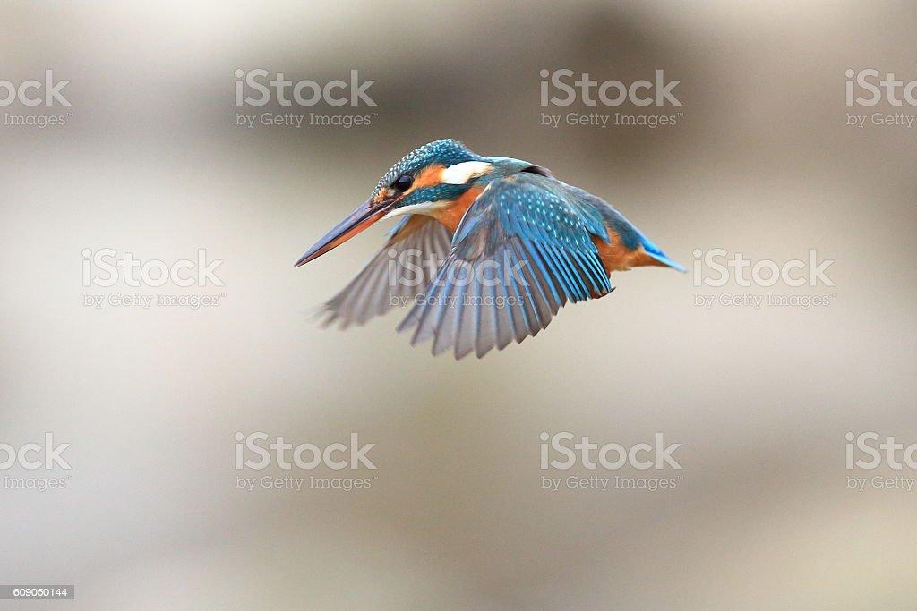 Wild Kingfisher stock photo