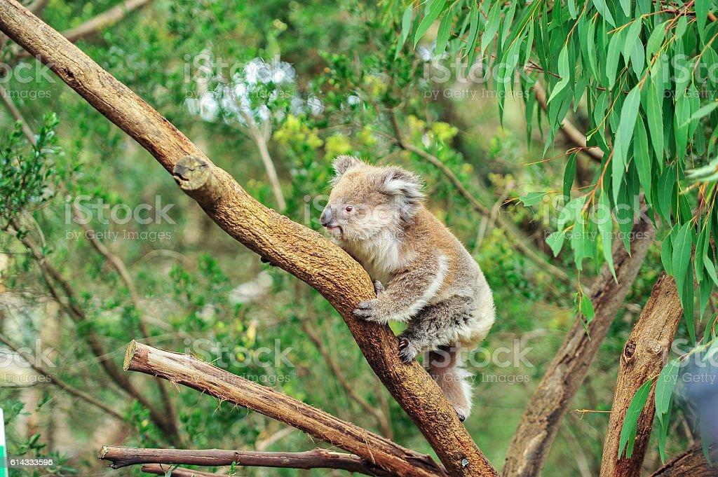 Wild Koala climbing on the tree stock photo