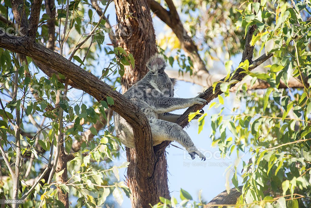 Wild koala (Phascolarctos cinereus) in Australia stock photo