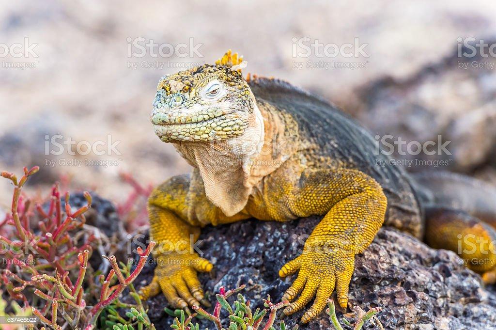 Wild land iguana on Santa Fe island in Galapagos stock photo