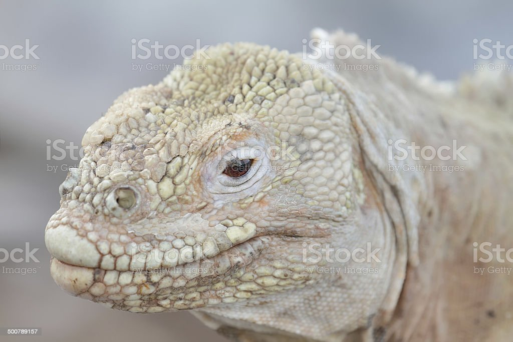 Wild land iguana on Santa Fe island royalty-free stock photo