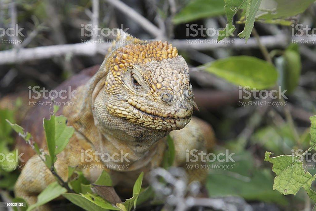 Wild land iguana stock photo