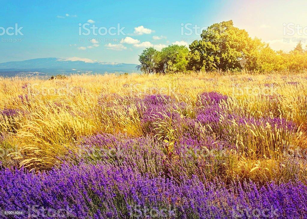 Wild lavender field stock photo