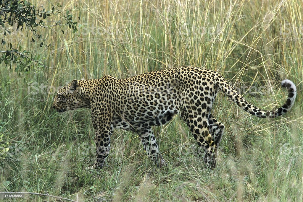 Wild leopard in tall grass Uganda Africa royalty-free stock photo