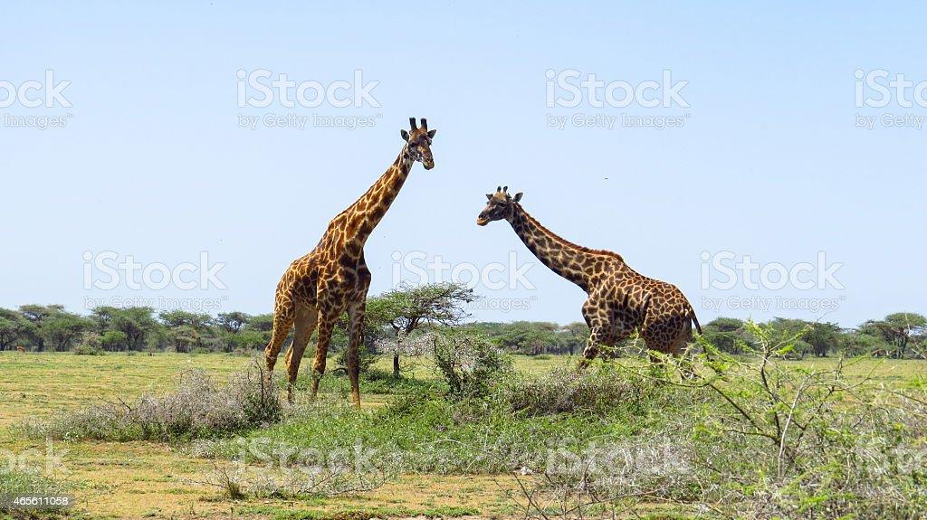 Wild life in Africa....girrafe in Serengeti national park stock photo