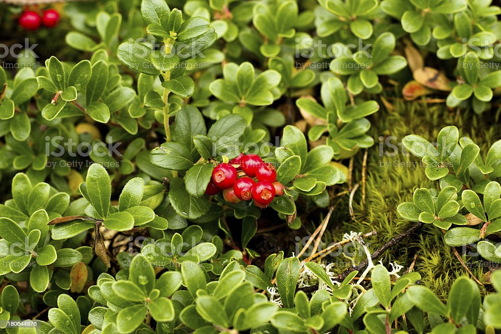 Wild Lingonberry / Cowberry plants royalty-free stock photo