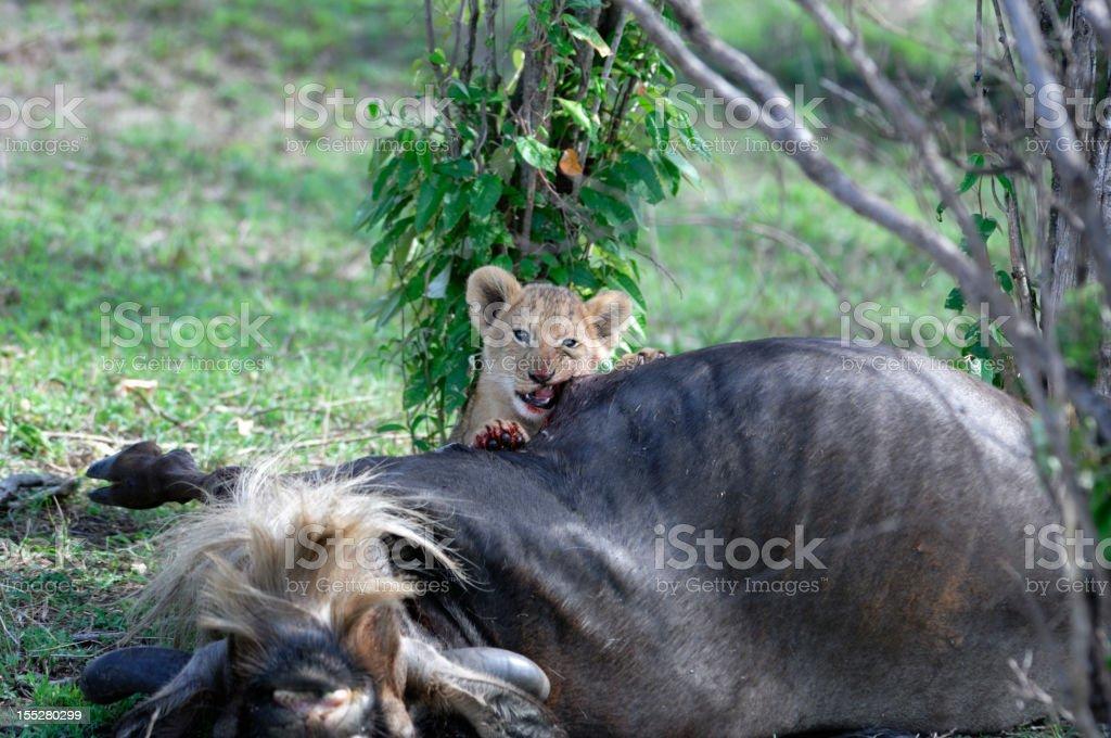 Wild Lion Cub and Wildebeest Kill stock photo