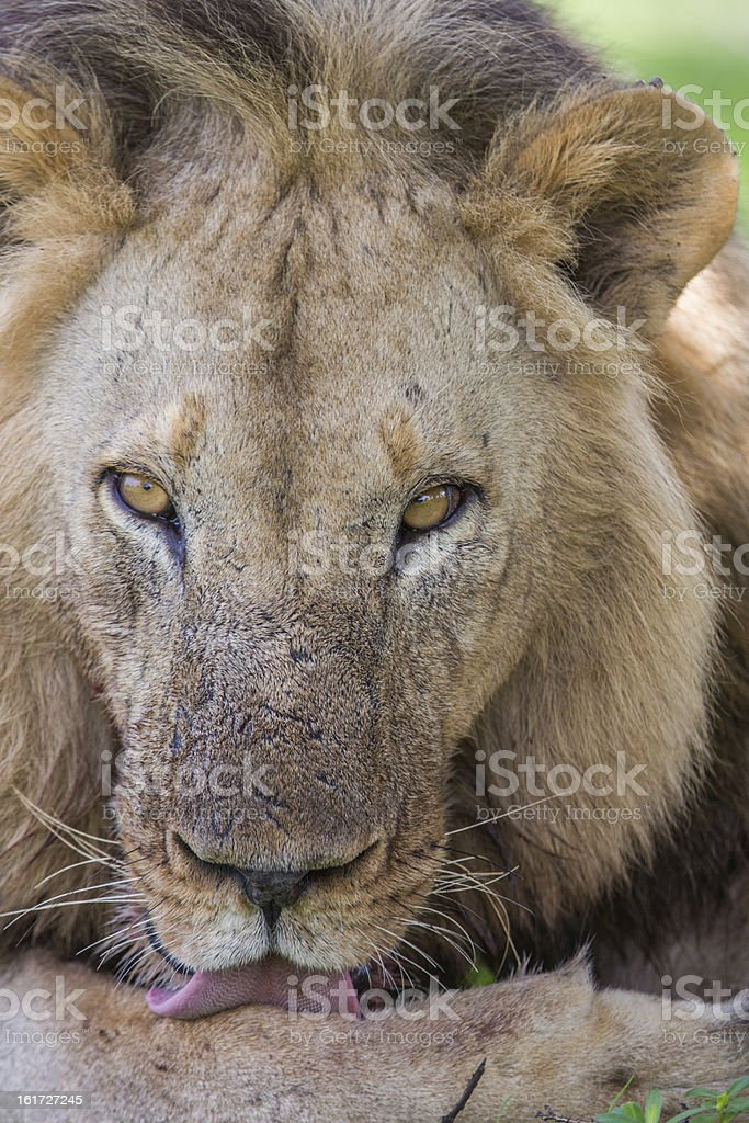 Wild Lion in Africa, Zambia royalty-free stock photo