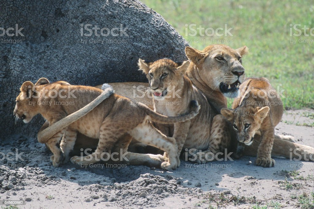Wild lion pride cub family Queen Elizabeth National Park Uganda stock photo