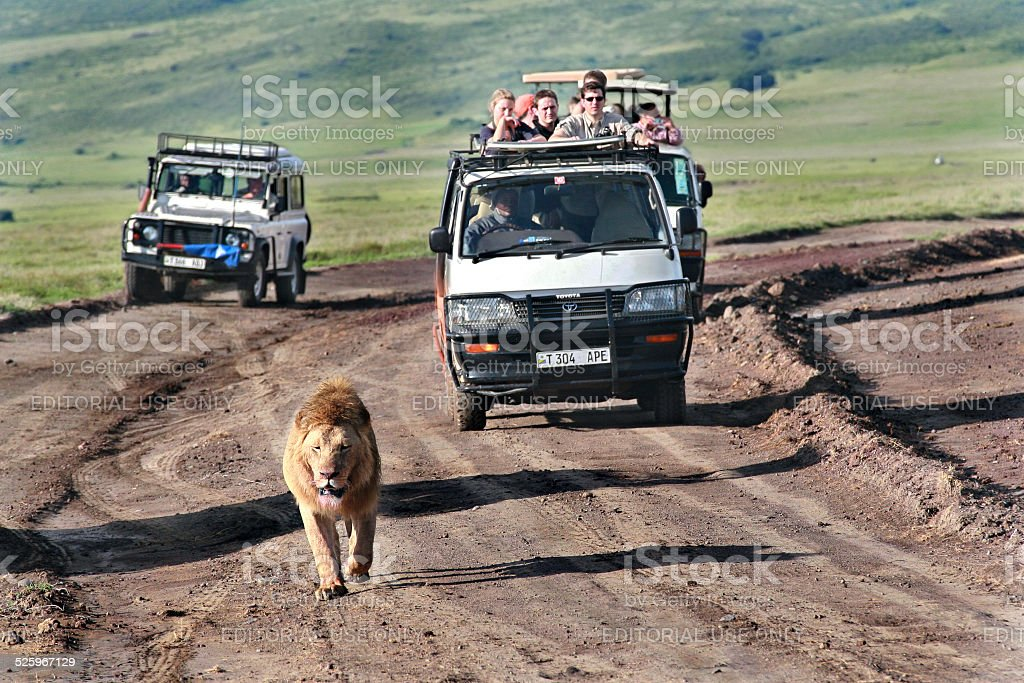Wild lion walking along road, chased by tourists in jeeps. stock photo