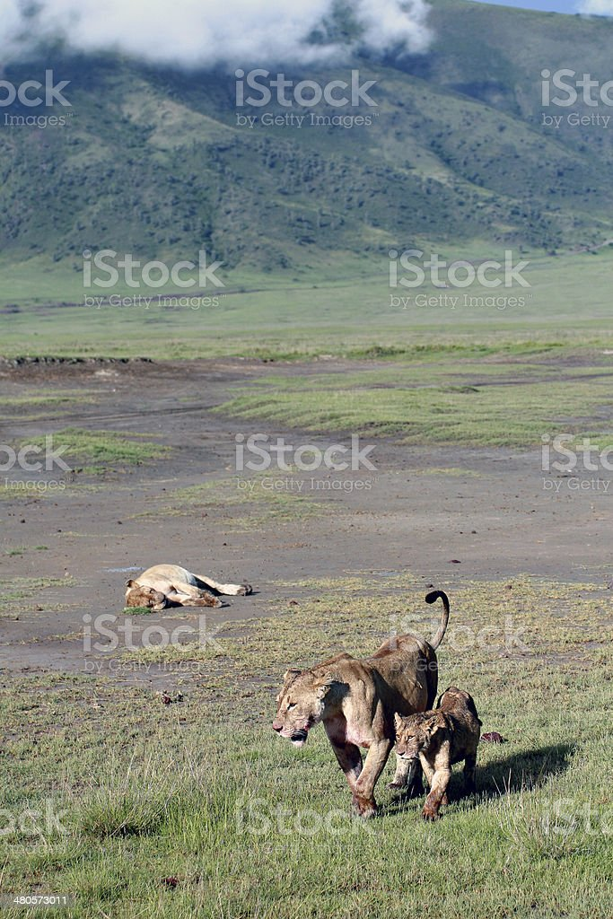 Wild lions in the Ngorongoro National Park, Tanzania. stock photo