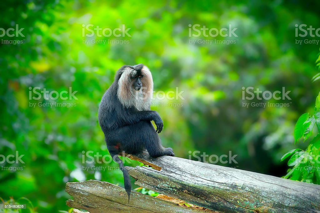 Wild Lion-tailed Macaque stock photo