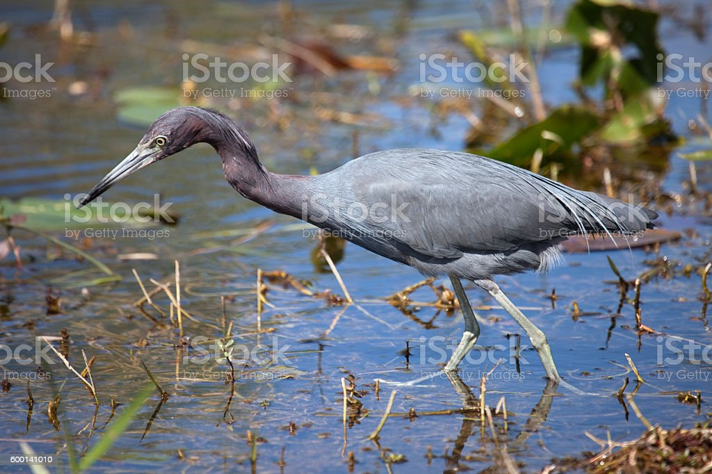 Wild little blue heron hunting Florida Everglades National Park wetlands stock photo