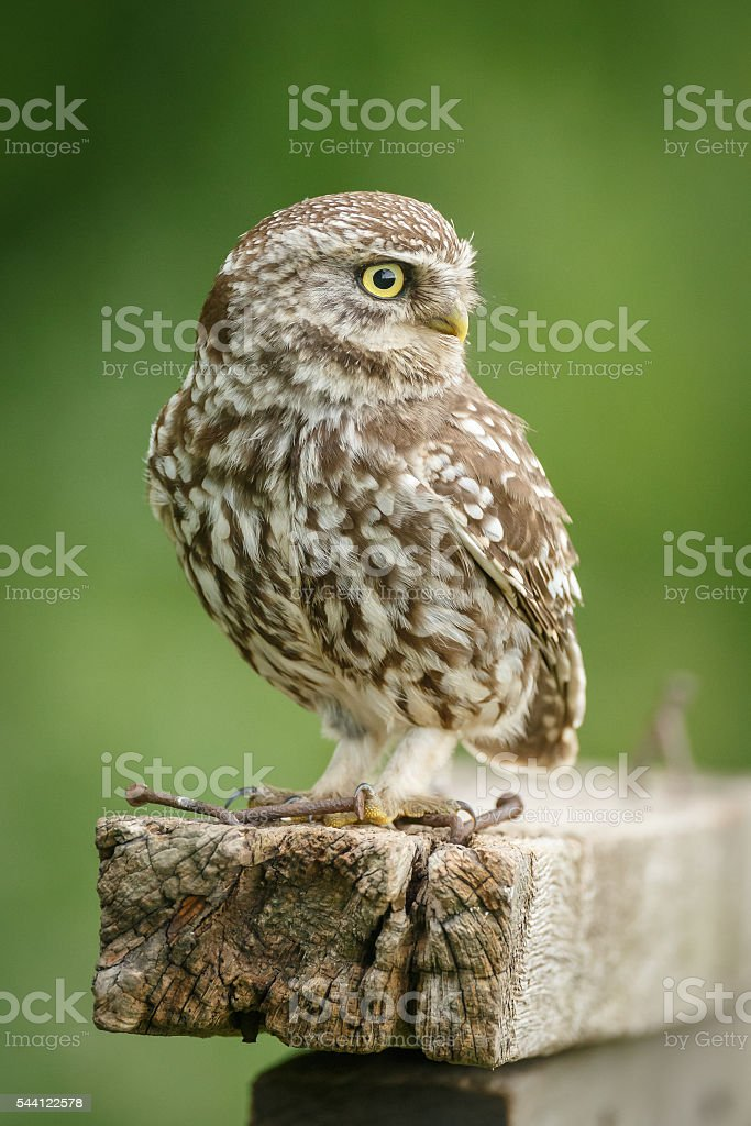 Wild little owl looking right stock photo