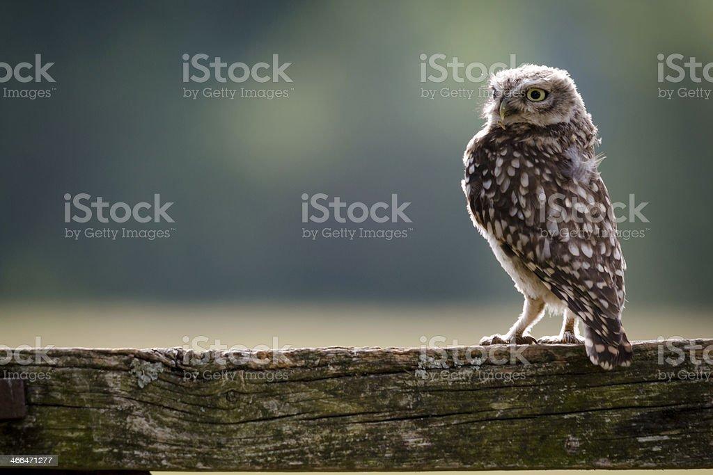 Wild Little Owl stock photo