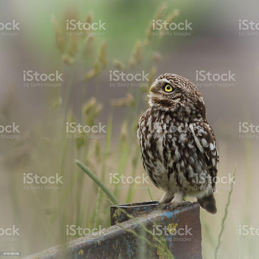 wild little owl sat on edge of farm equipment.(Athene noctua) stock photo