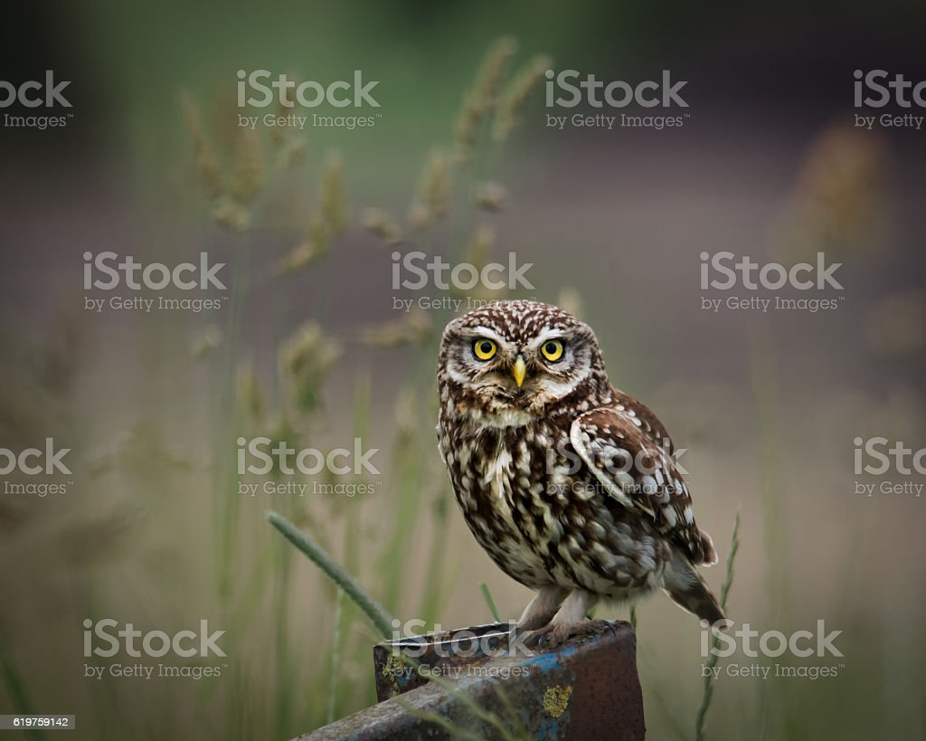 wild little owl sat on edge of farm  looking forward. stock photo
