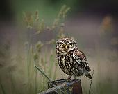 wild little owl sat on edge of farm  looking forward.